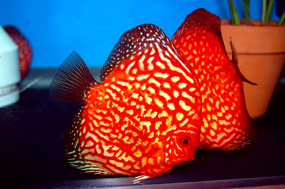 Red Spotted Discus